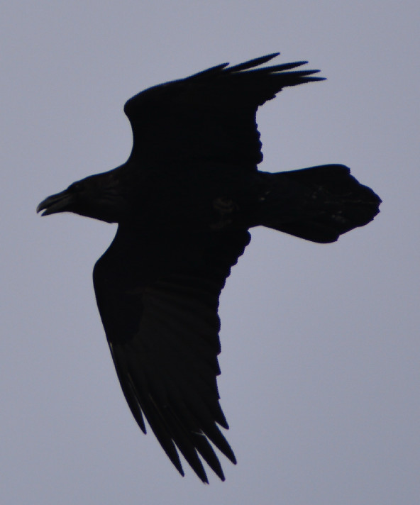 Ворон в полёте