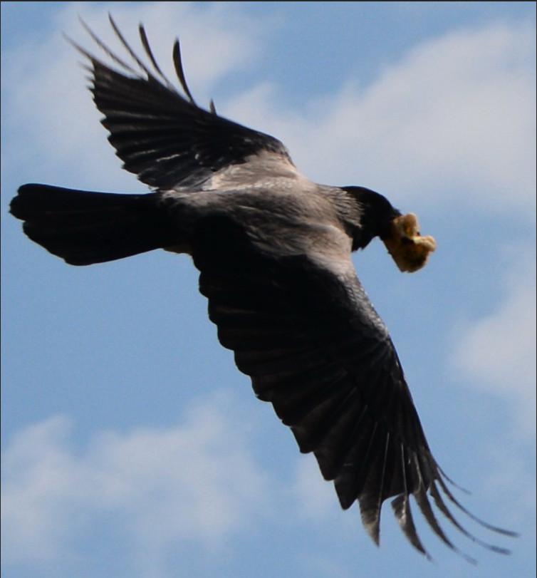 Серая ворона в полёте
